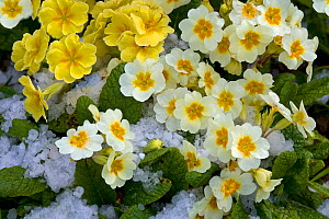 Polyanthus plants (Primula sp) in flower in snow, Norfolk, UK, January  -  Ernie Janes