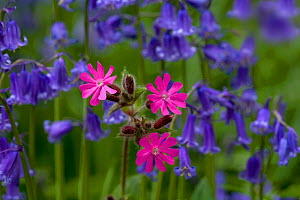 Red campion (Silene dioica) and Bluebell flowers  growing in woodland, Norfolk, UK, April - Ernie Janes