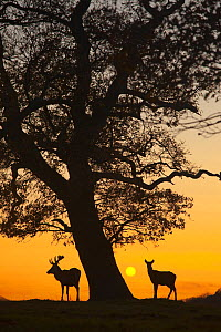 RF- Silhouette of Red deer (Cervus elaphus) stag and hind by tree at sunset, Norfolk, UK. (This image may be licensed either as rights managed or royalty free.)  -  Ernie  Janes