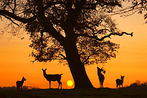 Silhouette of Red deer (Cervus elaphus) stag, hind and fawns at sunset, Norfolk, UK  -  Ernie Janes