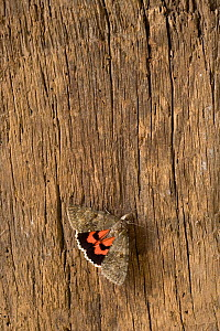 Red underwing moth (Catocala nupta) resting on tree trunk, Norfolk, UK, August  -  Ernie Janes