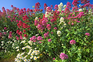 Red valerian (Centranthus ruber) and pink and white valerian flowering, Cornwall, UK, June - Ernie Janes