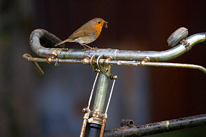 Robin (Erithacus rubecula) perched on bicycle, UK  -  Ernie Janes