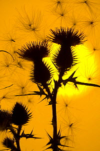 Silhouette against the sun of floating seeds attached to Scottish spear thistle (Cirsium vulgare), UK. August - Ernie Janes
