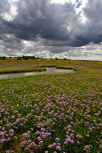 Sea lavender (Limonium vulgare) flowering on the saltmarshes, Wareham, Norfolk, UK, July - Ernie Janes