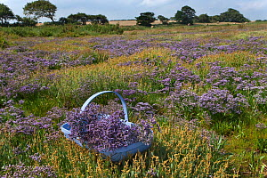 Picking Sea lavender (Limonium vulgare) on the saltmarshes at Burnham, North Norfolk, UK, July - Ernie Janes