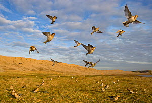 Flcok of Snow buntings (Plectrophenax nivalis) landing on coastal grassland, Norfolk, UK. February - Ernie Janes
