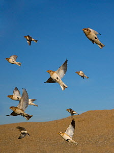 Flock of Snow buntings (Plectrophenax nivalis) in flight, Norfolk, UK February - Ernie Janes