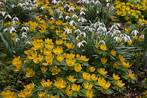 Snowdrops (Galanthus nivalis) and Winter aconites (Eranthis hyemalis) UK. March  -  Ernie Janes