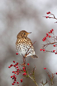 Song thrush (Turdus philomelos) perched amongst berries, UK. December  -  Ernie Janes