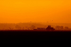 Silhouette of tractor ploughing at sunset with gulls following the plough, Norfolk, UK, February  -  Ernie Janes