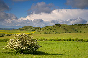 Clouds over Chiltern downland and flowering Hawthorn, Ivinghoe Hills, Buckinghamshire, UK, May 2006  -  Ernie Janes