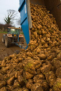 Sugar beet (Beta vulagaris) crop, unloading beets from trailer, Norfolk, UK, January 2009  -  Ernie Janes