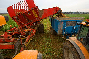 Sugar beet (Beta vulagaris) crop being harvested, unloading beets into trailer, Norfolk, UK, January 2009  -  Ernie Janes
