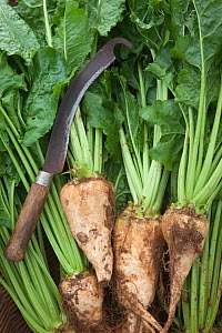 Sugar beet (Beta vulagaris) crop, Norfolk, UK, August  -  Ernie Janes