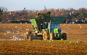 Harvesting Sugar Beet (Beta vulgaris)  Norfolk, UK, January 2007  -  Ernie Janes