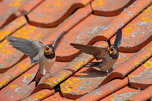 Barn swallow (Hirundo rustica) two young swallows on barn roof calling for food, Norfolk, UK, August - Ernie Janes