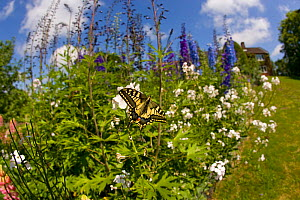Swallowtail butterfly (Papilio machaon) in flower border, Norfolk Broads, UK, June - Ernie Janes