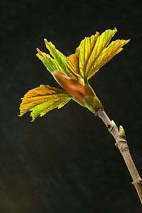 Sycamore (Acer pseudoplatanus) new leaves opening from bud, UK, April - Ernie Janes