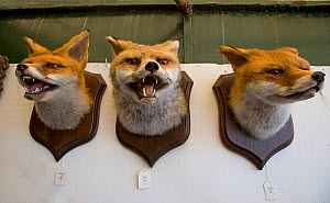 Three Red fox (Vulpes vulpes) heads stuffed and mounted trophies for sale, Europe  -  Ernie Janes