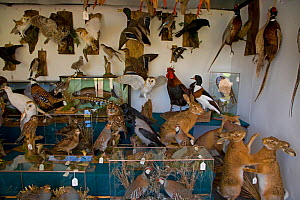 Taxidermy shop with great variety of stuffed animals for sale including Common hare (Lepus europaeus), Europe  -  Ernie Janes