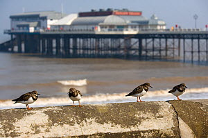 Turnstones (Arenaria interpres) perched on sea wall with pier in background, Norfolk, UK, March - Ernie Janes