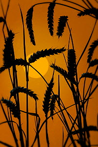 Silhouette at sunrise of Wheat ears (Triticum aestivum) ready for harvest, Norfolk, UK - Ernie Janes