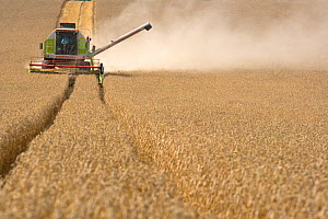 Combine harvester harvesting field of Wheat, Bedfordshire, UK, August 2006  -  Ernie Janes