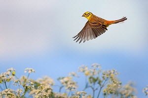 Yellowhammer (Emberiza citinella) male in flight, Norfolk, UK, May - Ernie Janes