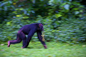 """Subadult Chimpanzee (Pan troglodytes schweinfurthii) male """"Musa"""" crossing rainforest clearing carrying figs in his mouth. Budongo Forest Reserve, Masindi, Uganda, Africa. December  -  Florian Möllers"""