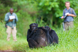 Field assistant Monday Gideon and PhD student Simon Townsend (University of St. Andrews) observing Chimpanzees (Pan troglodytes schweinfurthii) grooming on rainforest road. Budongo Forest Reserve, Mas...  -  Florian Möllers