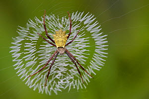 Yellow-bodied spider in her web. Budongo Forest Reserve, Masindi, Uganda, Africa. December  -  Florian Möllers