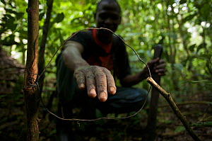 Andi Dominic, member of the snare removal team at Budongo Conservation Field Station showing a snare set for medium-sized duikers and bush pig in the rainforest. Budongo Forest Reserve, Masindi, Ugand...  -  Florian Möllers