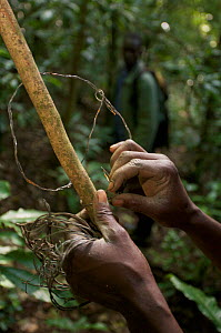Member of the Snare Removal Unit at Budongo Conservation Field Station removes snare set for  duikers and bush pig  that could seriously harm or mutilate chimpanzees which might accidentially get caug...  -  Florian Möllers