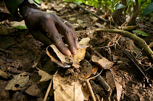 Moses Lemi of the Snare Removal Unit at Budongo Conservation Field Station remove snares that could seriously harm or mutilate chimpanzees which might accidentially get caught in them. Budongo Forest...  -  Florian Möllers