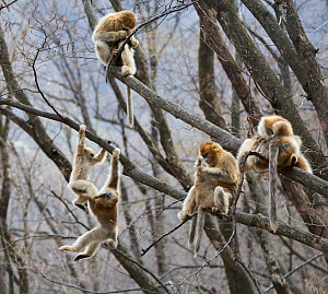 Golden snub-nosed monkey (Rhinopithecus roxellana qinlingensis) females, subadults and infants socialising in tree, Zhouzi Nature Reserve, Qinling mountains, Shaanxi, China. April 2006  -  Florian Möllers