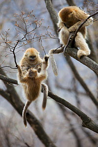 Golden snub-nosed monkey (Rhinopithecus roxellana qinlingensis) infants playing in tree, Zhouzi Nature Reserve, Qinling mountains, Shaanxi, China. April 2006  -  Florian Möllers