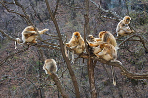 Golden snub-nosed monkey (Rhinopithecus roxellana qinlingensis) family group / harem resting / grooming in a tree, Zhouzi Nature Reserve, Qinling mountains, Shaanxi, China. April 2006  -  Florian Möllers