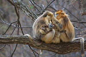 Golden snub-nosed monkey (Rhinopithecus roxellana qinlingensis) females and newborn grooming in tree, Zhouzi Nature Reserve, Qinling mountains, Shaanxi, China. April 2006  -  Florian Möllers