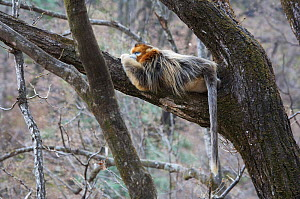 Golden snub-nosed monkey (Rhinopithecus roxellana qinlingensis) adult male resting high up in a tree, Zhouzi Nature Reserve, Qinling mountains, Shaanxi, China. April 2006  -  Florian Möllers