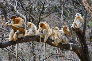 Golden snub-nosed monkey (Rhinopithecus roxellana qinlingensis) family group / harem resting / grooming in a tree, Zhouzhi, Shaanxi, China.  -  Florian Möllers