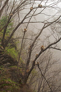 Golden snub-nosed monkeys (Rhinopithecus roxellana qinlingensis) resting high in the trees on a misty morning, Zhouzi Nature Reserve, Qinling mountains, Shaanxi, China. April 2006  -  Florian Möllers