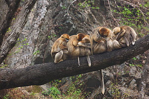 Golden snub-nosed monkey (Rhinopithecus roxellana qinlingensis) family group / harem sleeping in a tree, Zhouzi Nature Reserve, Qinling mountains, Shaanxi, China. April 2006  -  Florian Möllers