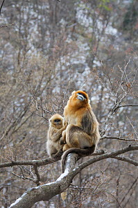 Golden snub-nosed monkey (Rhinopithecus roxellana qinlingensis) infant grooming adult male in tree, Zhouzhi Nature Reserve, Qinling mountains, Shaanxi, China, April 2006  -  Florian Möllers