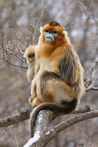Golden snub-nosed monkey (Rhinopithecus roxellana qinlingensis) infant peering from behind adult male's back, Zhouzhi Nature Reserve, Qinling mountains, Shaanxi, China, April 2006  -  Florian Möllers