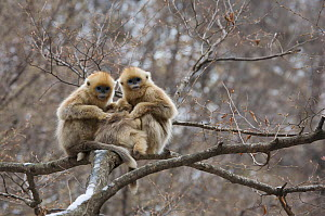 Golden snub-nosed monkey (Rhinopithecus roxellana qinlingensis) three infants grooming / resting in a tree, Zhouzhi Nature Reserve, Qinling mountains, Shaanxi, China, April 2006  -  Florian Möllers