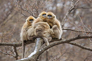 Golden snub-nosed monkey (Rhinopithecus roxellana qinlingensis) infants grooming / resting in a tree, Zhouzhi Nature Reserve, Qinling mountains, Shaanxi, China, April 2006  -  Florian Möllers