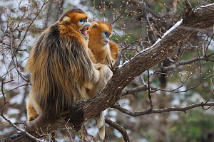 Golden snub-nosed monkey (Rhinopithecus roxellana qinlingensis) adult male, female and offspring in a tree, Zhouzhi Nature Reserve, Qinling mountains, Shaanxi, China, April 2006  -  Florian Möllers