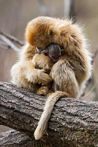 Golden snub-nosed monkey (Rhinopithecus roxellana qinlingensis) female with newborn in tree, Zhouzhi Nature Reserve, Qinling mountains, Shaanxi, China, April 2006  -  Florian Möllers