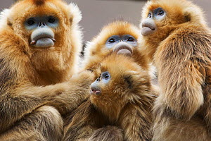 Golden snub-nosed monkeys (Rhinopithecus roxellana qinlingensis) family group / harem resting / sleeping / cuddling, Zhouzhi Nature Reserve, Qinling mountains, Shaanxi, China, April 2006  -  Florian Möllers